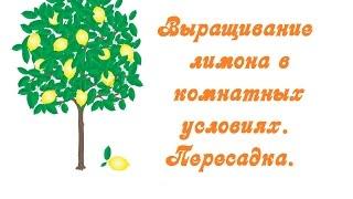 Выращивание лимона в комнатных условиях. Пересадка(Тонкости посадки и ухода за лимоном в комнатных условиях., 2015-06-12T14:59:30.000Z)