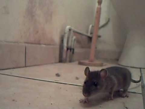 je t'ai piégé le rat! - youtube