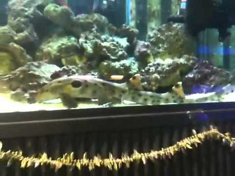epaulette shark tank - photo #21