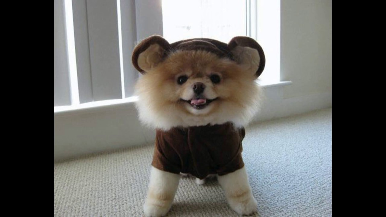 jiffpom cutest cute pom jiff