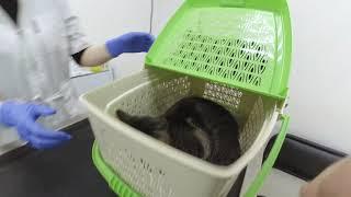 Готовим кошку к дальней дороге в поезде. Делаем прививки.