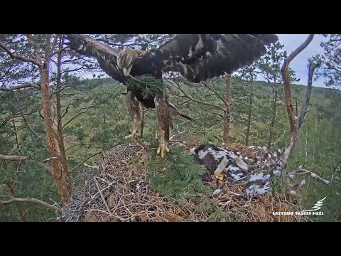 latvian-golden-eagles-~-spilve-brings-in-greenery-for-nest!-begins-de-feathering-of-klints-7.6.20