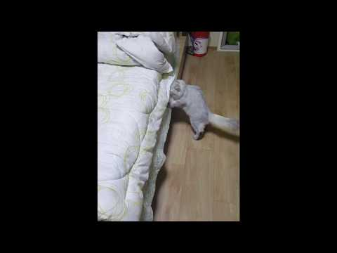 집사 침대에 지 새끼 물어다 놓는 고양이  [오월이네]