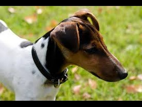 Fox Terrier Smooth - Dog Breed