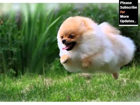 Pomeranian Dog Breed Dog Type Pomeranian Breed Set Of Picture