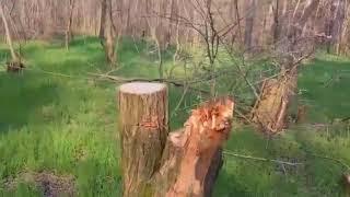 """Браконьерство в Балабановском лесу (видео """"Корабелов.Инфо"""")"""