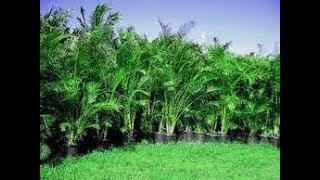 Areca palm 🌴आपके बागीचे की रौनक//Areca palm care