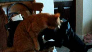 Cat Fights A Staffordshire Bull Terrier And Wins !!