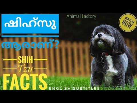 Shih Tzu Facts | Malayalam | Animal Factory