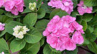 양재동 꽃시장) 장미수…