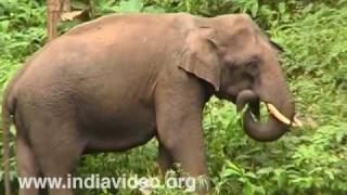 Indian Elephant, Eravikulam National Park, State Animal, Forest, Wildlife, Video, Suresh Elamon