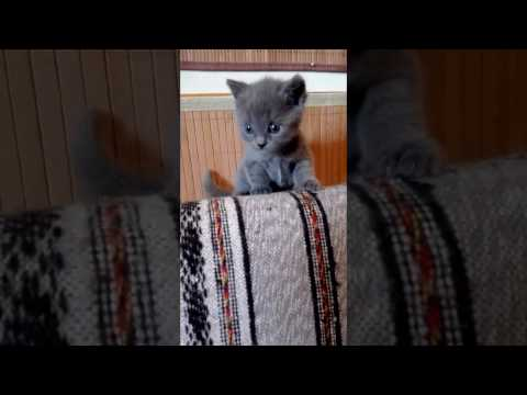 Blue Melody Chartreux Cats - Harmony 4 weeks  old