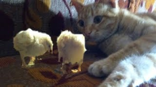 Funny Cats With Chicks