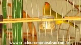 Repeat youtube video Canário da terra SANTINO - Campeão SCBC BH 2011