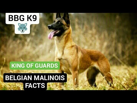 BELGIAN MALINOIS dog breed(facts)