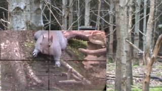 Air rifle squirrel shooting may 2017