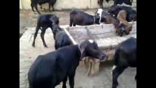 Buffalo Dairy Farm ,Lahore,Pakistan