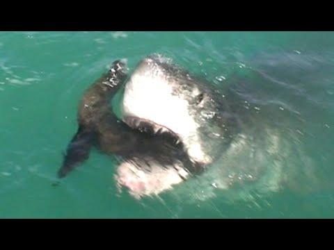 Un requin blanc dévore un phoque en direct