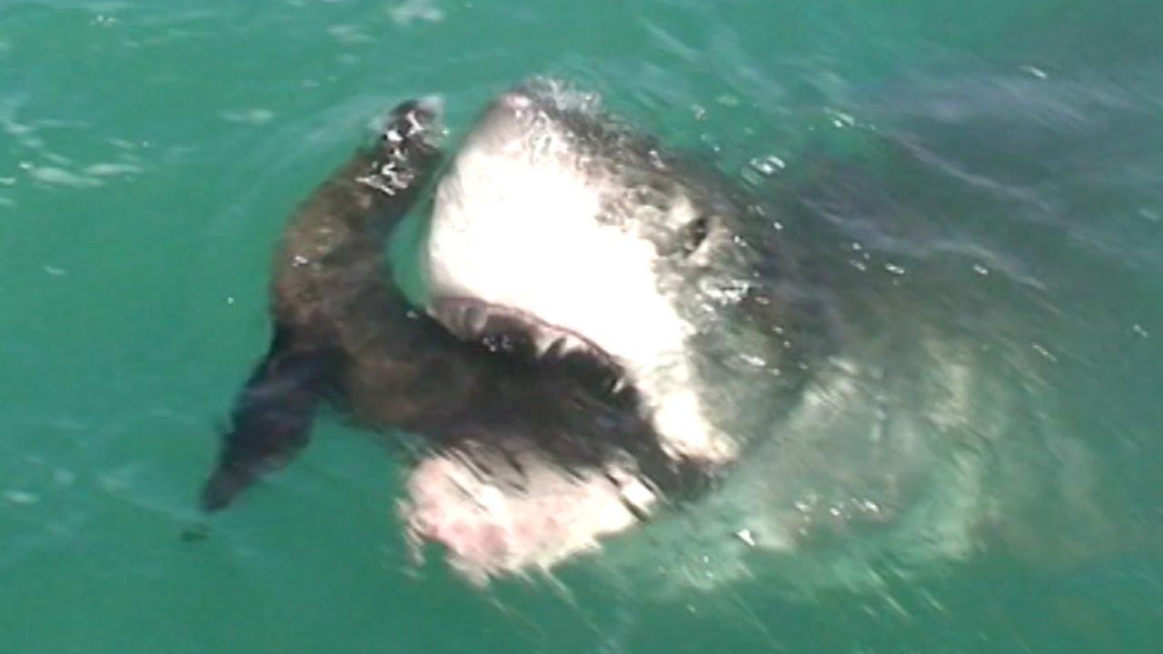 Great White Shark Eats Seal