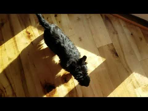 Scottish terrier female and male