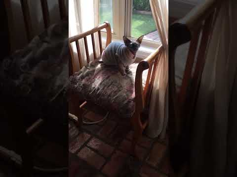 Adorable Sphynx cat Talking cat chatter!
