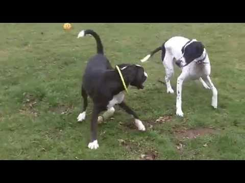 Pointer Larry & Boxer Bridie at A & B Dogs Boarding & Training Kennels.