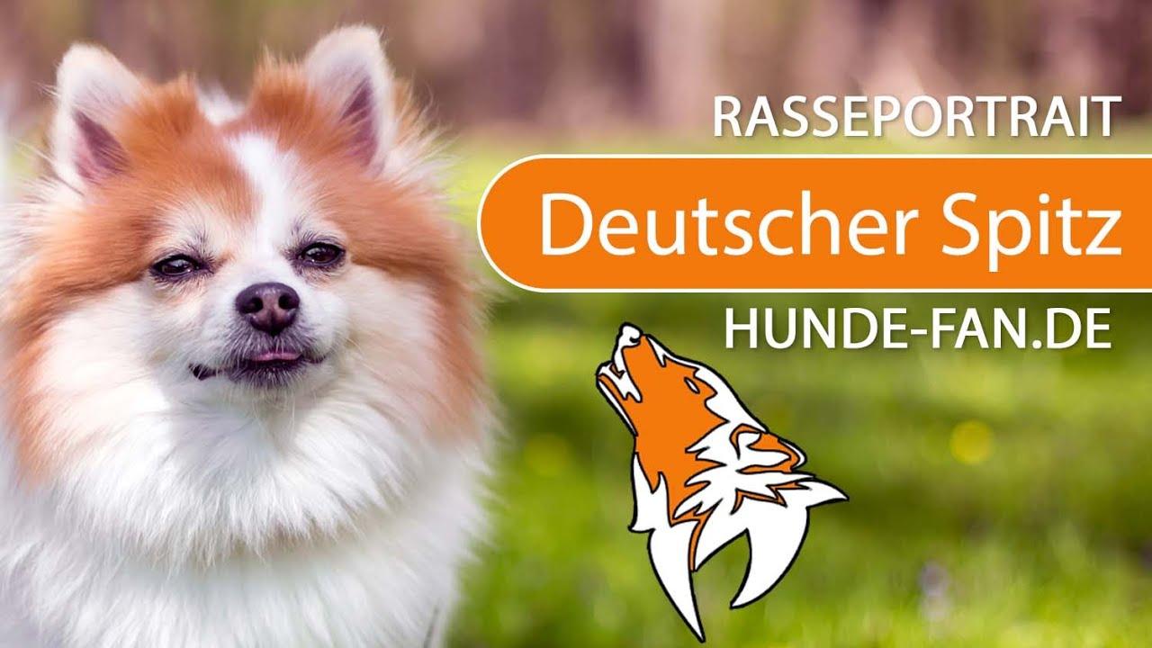 Deutscher Spitz 2019 Charakter Wesen Hunde Fande