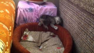 Шотландские вислоухие котята (Котята 1)