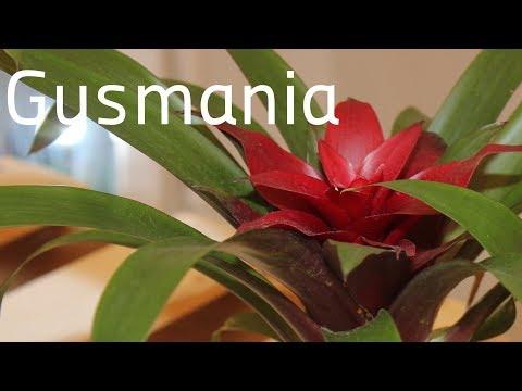 Комнатный цветок ГУЗМАНИЯ. Уход и содержание в домашних условиях. БотаникLIVE