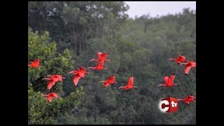 National Symbols Of T&T - The National Birds