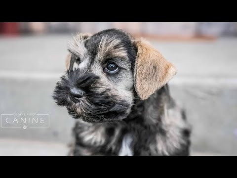 Miniature Schnauzers are THE BEST! 2019 Puppy Training