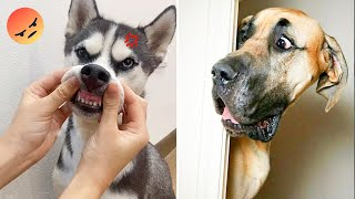 Aww! The Funniest and Cutest Dogs Ever #29   ChihuahuaTV