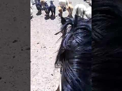 traditional living process. mongolia