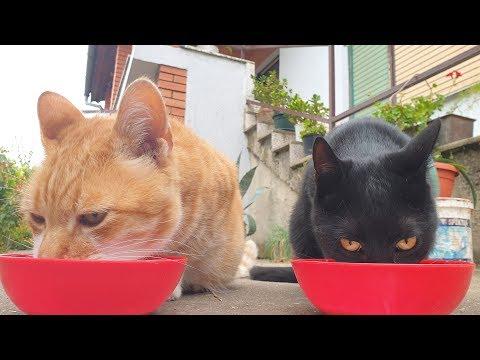 Cats Drinking Goat Milk (ASMR)