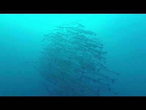 팔라우 다이빙 -  블랙핀 바라쿠다 스쿨링 영상 PALAU SCUBA DIVING BLACKFIN BARRACUDA