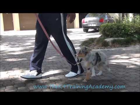 Blue - Mini Australian Shepherd with Basic Obedience - The K9 Training Academy