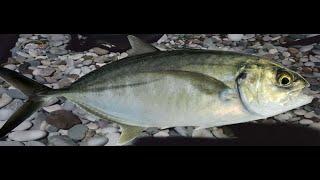 Tral Balığı Avı Gündüz Caranx crysos