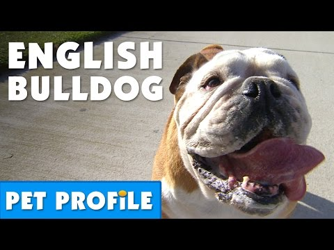 English Bulldog Pet Profile | Bondi Vet