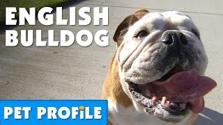 English Bulldog Pet Profile | Bondi Vet