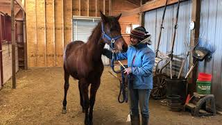 First Time Show Halter Training With Two Yearling Colts