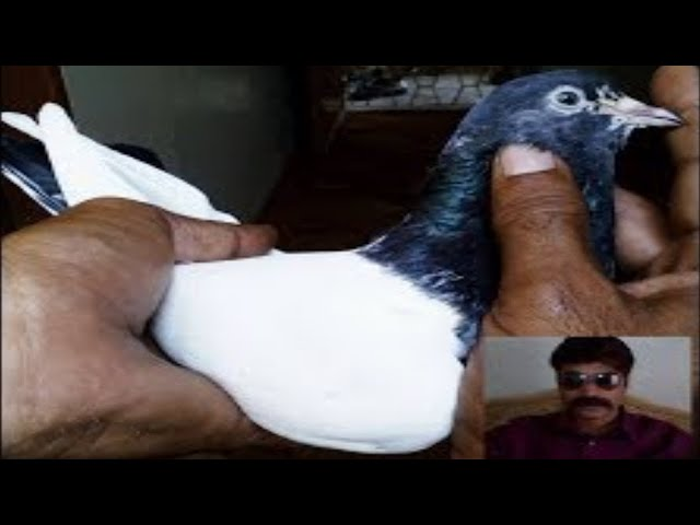 Top 10 Banky and Ferozpuri Pigeons of Shahid Rajput