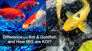Difference Between Koi And Goldfish & How BIG Are Koi Fish?
