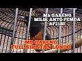 Mb Gareng Isian Sikatan Londo Milik Om Anto Pemda Apbf  Mp3 - Mp4 Download