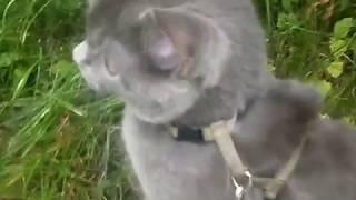 Видео. Наш домашний питомец  кот Тишка на прогулке.