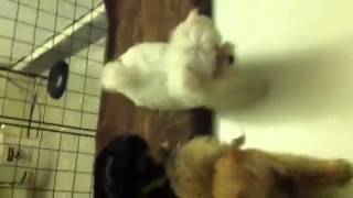 Teacup Maltese, Morkie & Yorkipoo Puppies In Las Vegas Nv