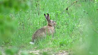 Зайчик жует травку
