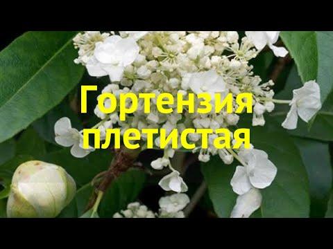 Гортензия плетистая. Краткий обзор, описание характеристик, где купить саженцы Hydrangea Seemannii