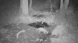 Chat sauvage : comportements nocturnes…