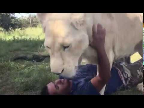 Lioness VS man