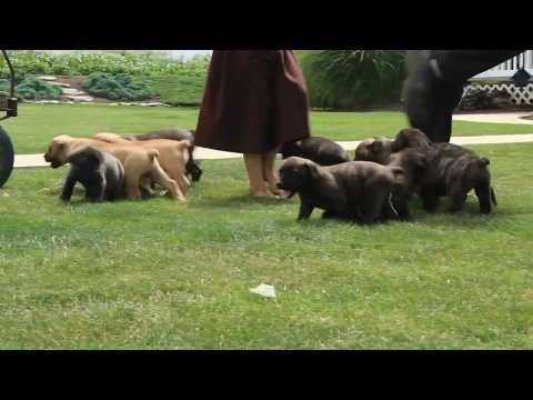 African Boerboel Puppies For Sale
